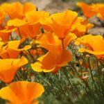 amapola california planta medicinal remedios