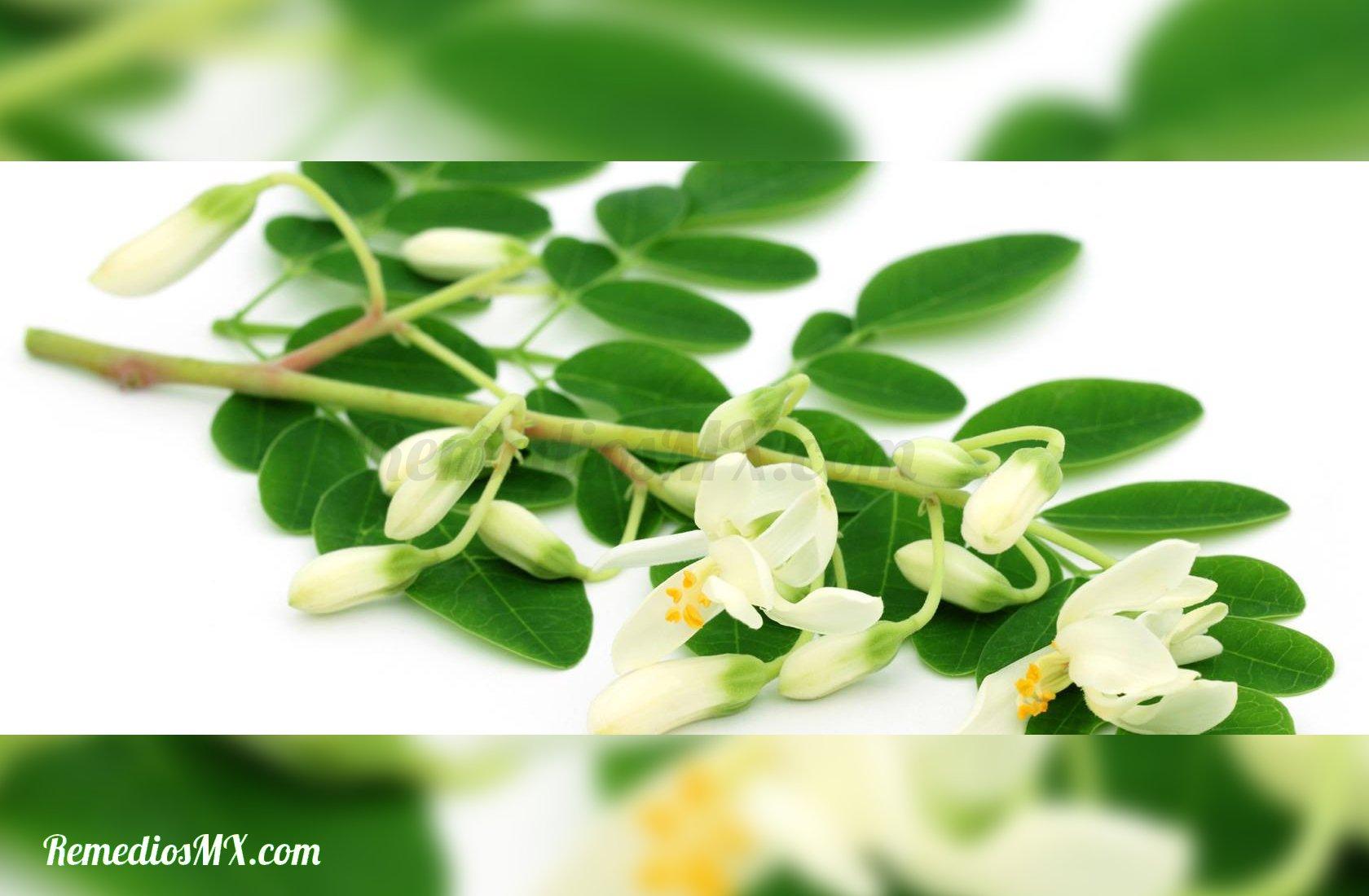 moringa hojas flores